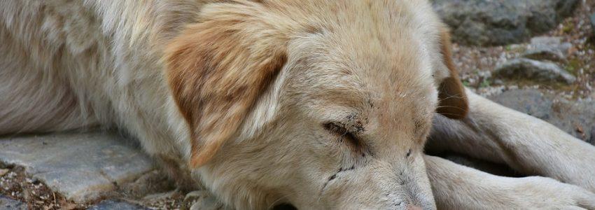 Att rehabilitera en gatuhund